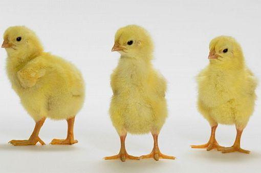 Внимательно отнеситесь к выбору цыплят перед покупкой
