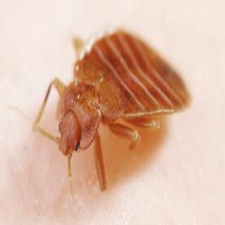 bedbug control services kenya