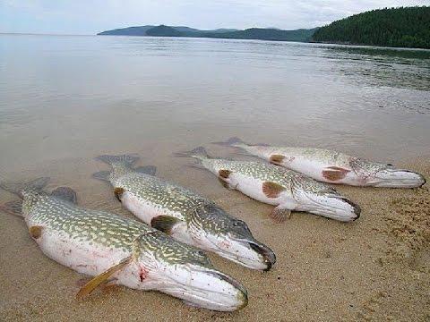 Разведение рыбы в домашних