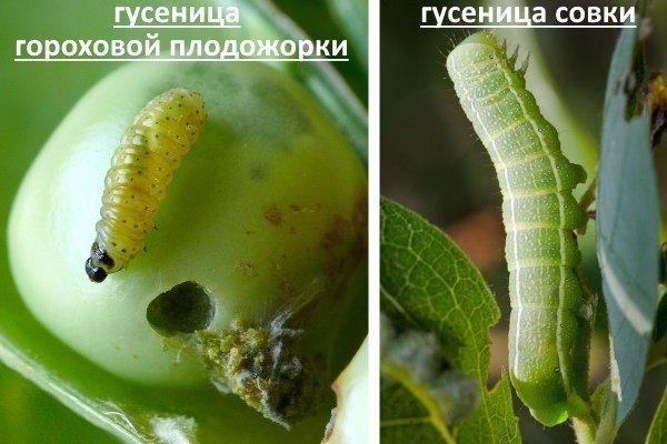 Гусеницы