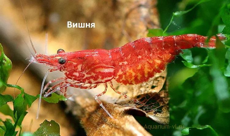 Размножение креветки