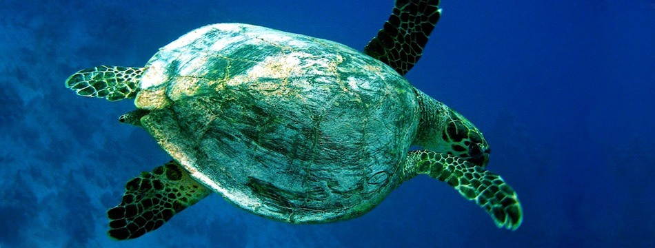 Scuba - Underwater Turtle seen next to Paphos coast