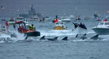 Черные дельфины гринды у берегов Фарер