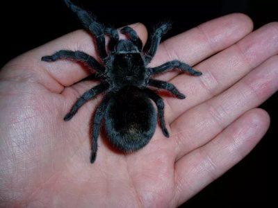 К чему снится паук черный большой