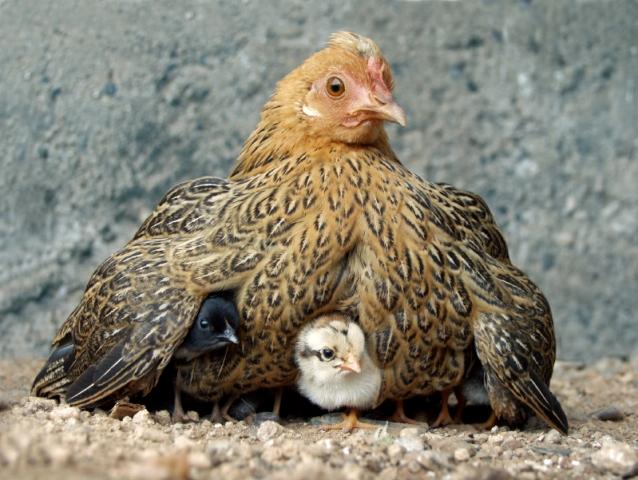 К чему сниться курица с цыплятами