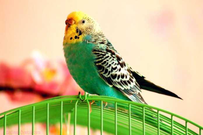 Научить попугая говорить
