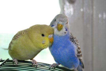 Попугаи чем мальчики отличаются от девочек