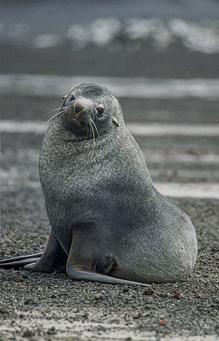 Antarctic furred seal