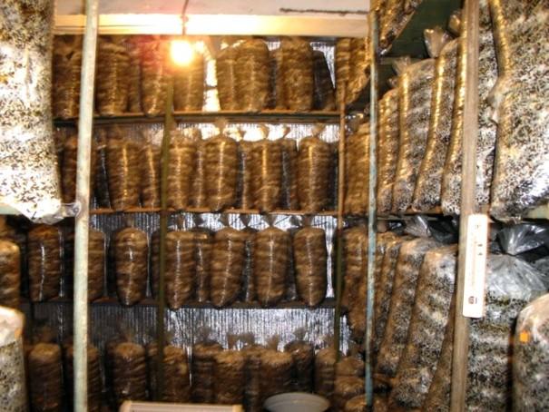 Как выращивать грибы в подвале в домашних условиях