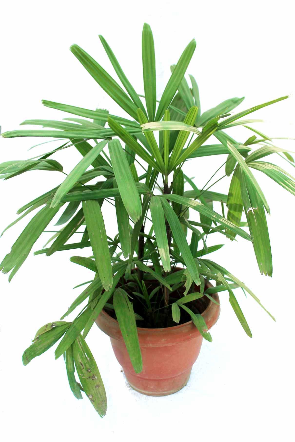 Exceptional Indoor Plants Online #9: Rhapis Palm, Indoor 3 Feet