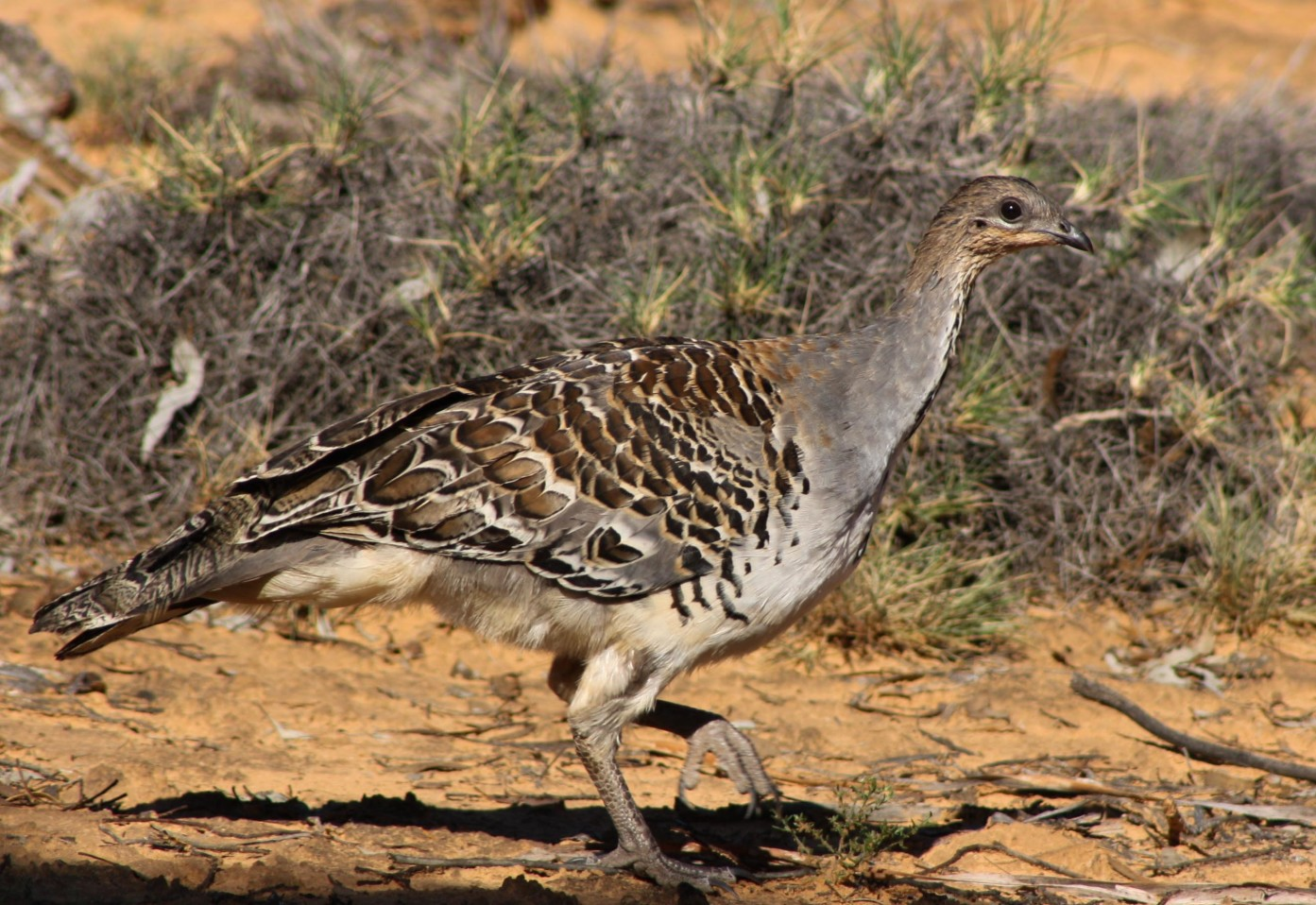 The Mallee Fowl - Photograph Marcia Riederer