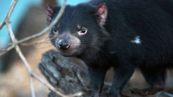 This Tassie Devil wants you to have fun and save him Photo: Courtesy Greening Australia