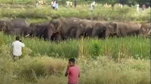 Elephant herd enters fields in Andhra's Palamaner, panic ensues