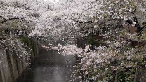 Tokyo draped in hues of pink thanks to its cherry blossoms