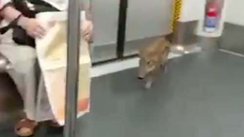 Viral video: All aBOARd! Piglet hops on to Hong Kong train