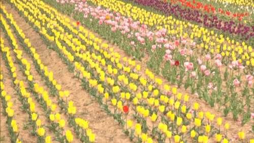 Udhampur's Kud Tulip Garden becomes a tourist hotspot
