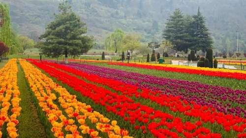 सैलानियों के लिए खुला कश्मीर का मशहूर ट्यूलिप गार्डन, PM मोदी ने लोगों से की खास अपील