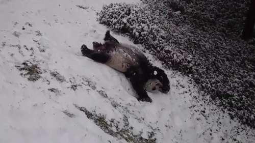 Pure joy: giant pandas have fun in the snow in Washington, D.C.
