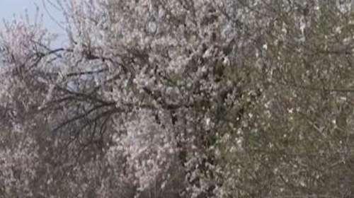 कश्मीर का बादामवारी बाग़ पर्यटकों के लिए खुला, सुहावने मौसम ने दी दस्तक