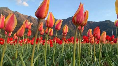 खुल चुका है श्रीनगर का बेहद ही खूबसूरत ट्यूलिप गार्डन, जानिये इसकी खासियत