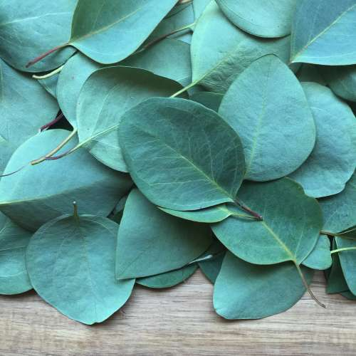 Benefits of eucalyptus leaf