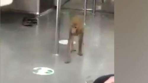 Delhi Metro के अंदर बंदर ने दिखाई कलाबाजी, सीट पर बैठकर यात्रा करने का वीडियो वायरल