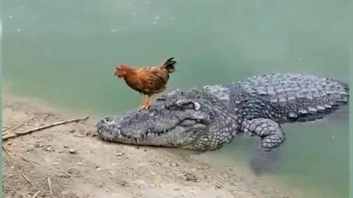 मगरमच्छ की पीठ पर बैठकर मुर्गे ने की सवारी, देखिए मजेदार वीडियो