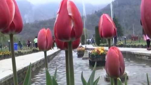 श्रीनगर में 3 अप्रैल से शुरू होगा ट्यूलिप फेस्टिवल, घाटी की संस्कृति और परंपरा से रूबरू होने का मौका