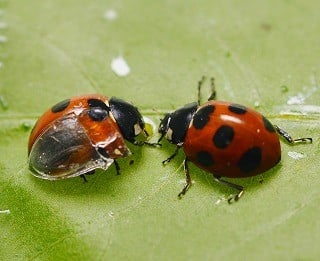 Researchers transplanted a transparent artificial forewing, or elytron, onto a Coccinella septempunctata seven-spotted ladybug (left) to observe its wing-folding process in detail. The artificial wing is made of ultraviolet light-cured resin and constructed from a silicon impression of the elytron's undersurface. (Image courtesy of Kazuya Saito.)