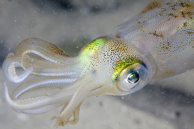 The Invisible Tape takes a cue from the squid's natural camouflage ability. Photo Credit: