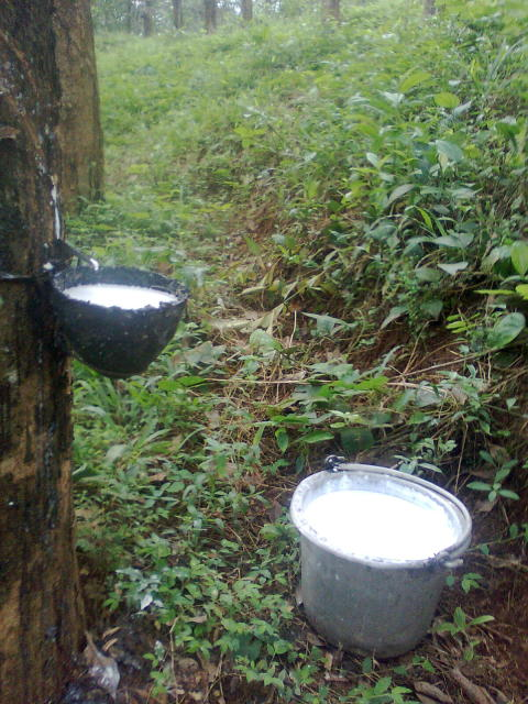 Latex is collected in buckets from tapped rubber trees.