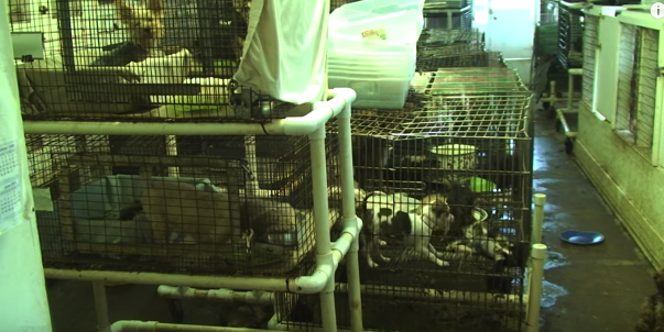 Puppy mill cages