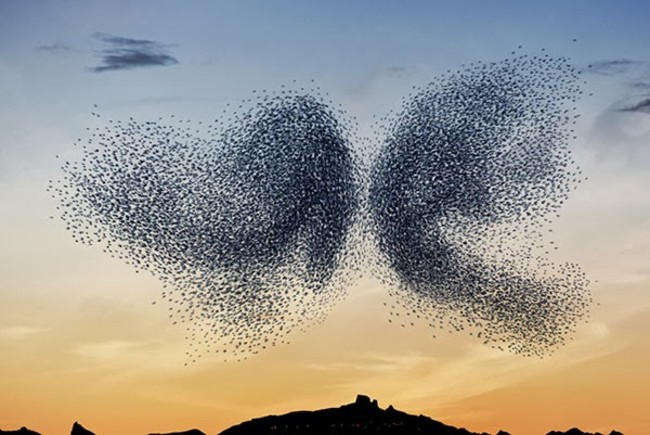 starlings, bird ballet, dance, Neels Castillon, Murmurations, swarms, epistrophy, sunset, europe, butterfly