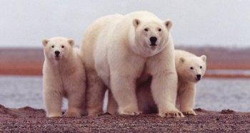 polar_bear_674001_960_720.jpg