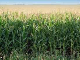corn futures, corn futures prices, corn futures trading momentum