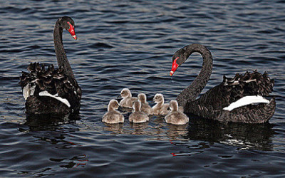 There Are Flocks of Black Swans Circling