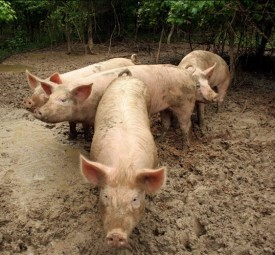 hog traders, hogs futures traders, trading hog futures,