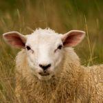 Koyunlar Fotoğrafa Bakarak Ünlülerin Yüzlerini Tanıyabiliyorlar