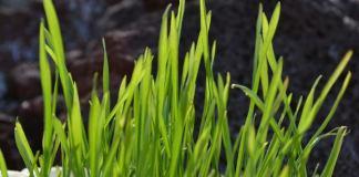 HEALTH BENEFITS OF WHEAT GRASS