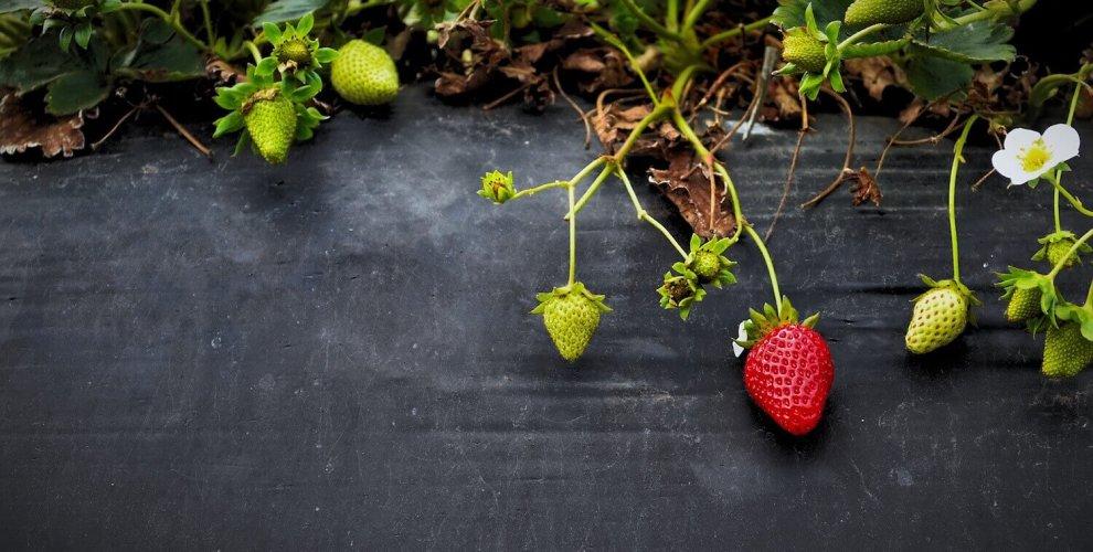 strawberry-rz