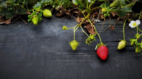 Dirty Dozen: Organic Strawberries vs. Conventional Strawberries.