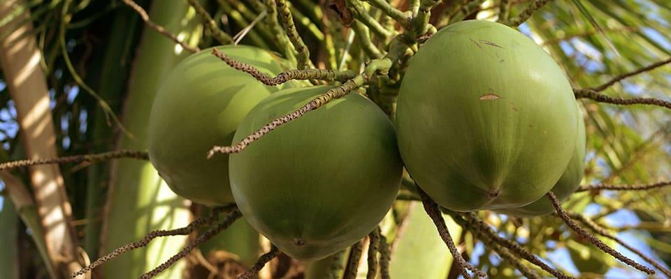 Palmar de cocos