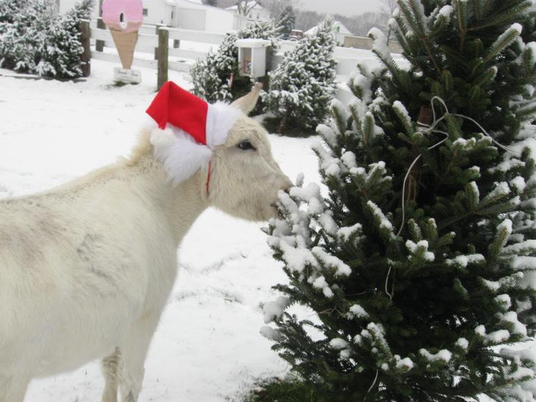 Simcock Farm - Eeyore picking his Christmas tree !