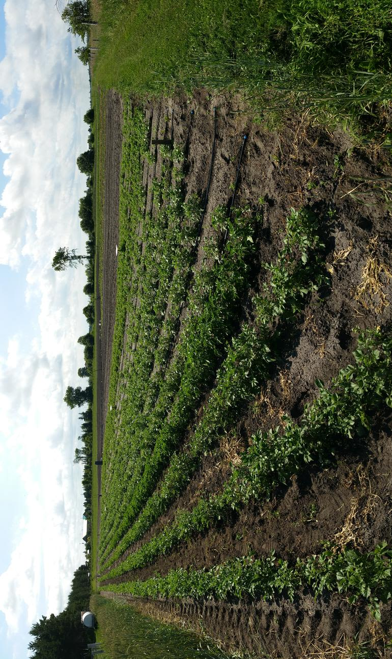 Marric Gardens - This is part of the field with fingerling potatoes in the foreground