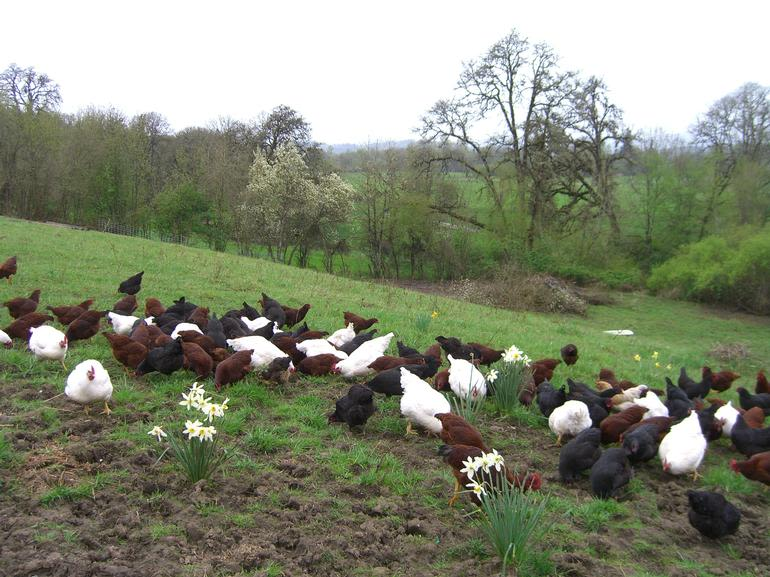 Kookoolan Farms - Pasture-raised chickens.