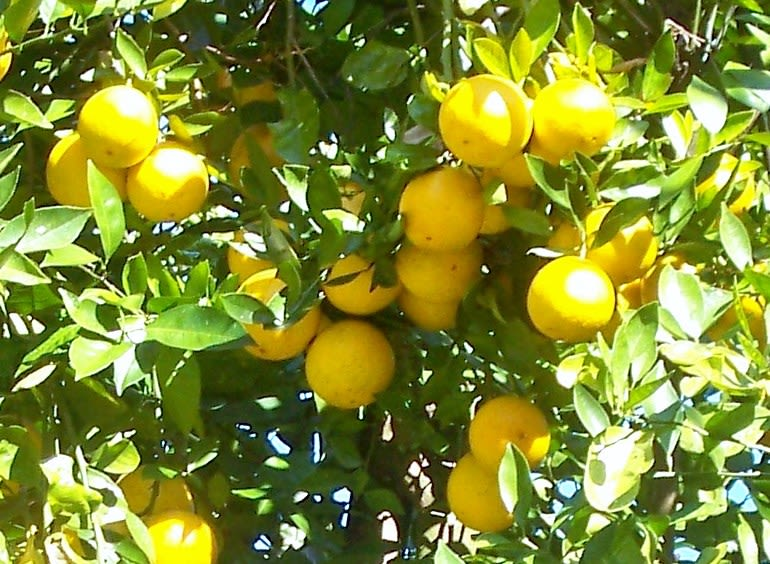 """Fort Lonesome Farm - Oranges, tangerines, Navels, Pink Grapefruit, White """"Duncan"""" Grapefruit, Pumelos and the Famous Valencias Oranges available at Fort Lonesome Farm, mix and match. Season October thru March."""