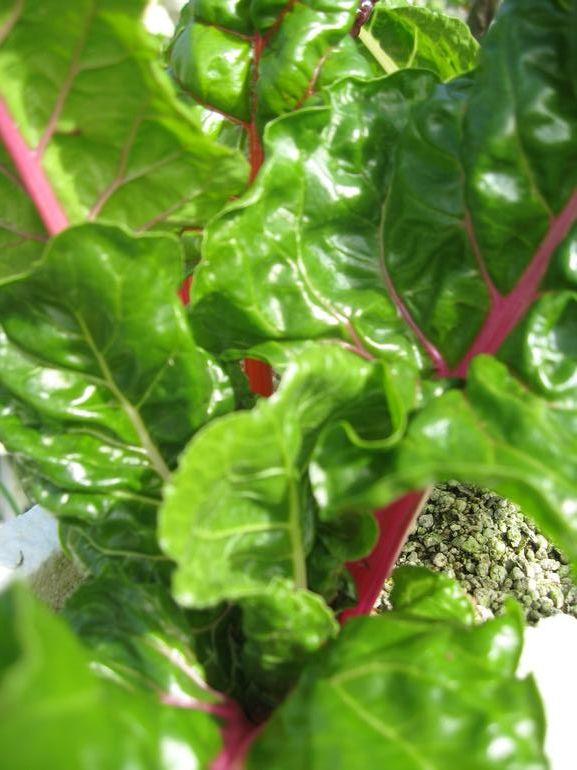 HYDRO HARVEST FARMS - swiss chard