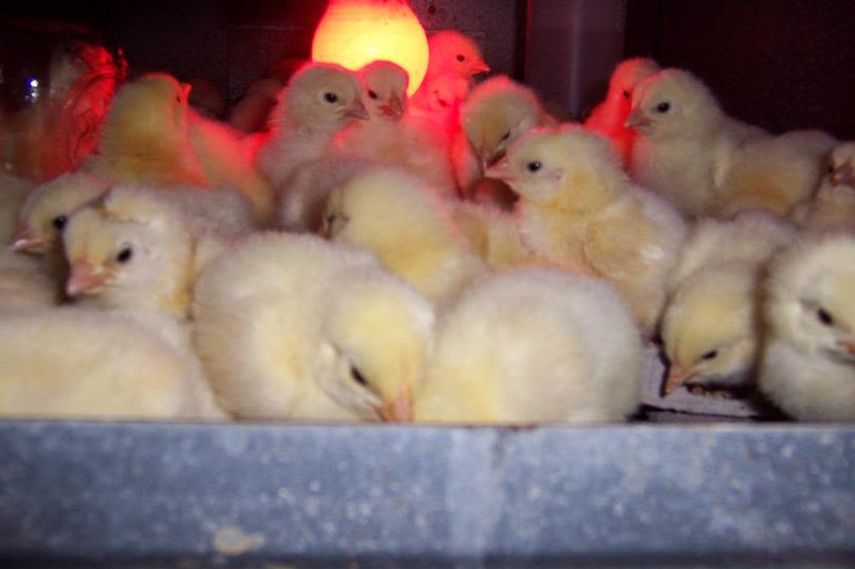 Lake Meadow Naturals, LLC - Just hatched chicks