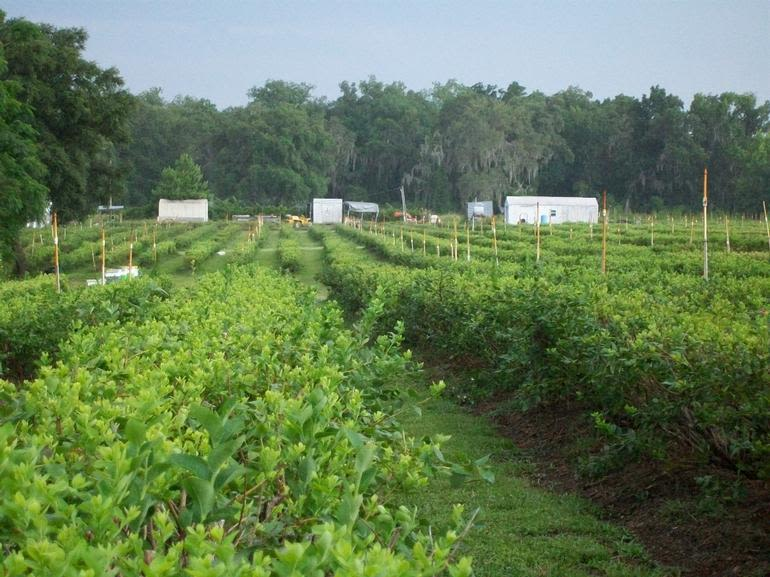 Spring Lake Blueberry Farm - Mid-summer, after harvest and pruning.