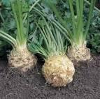 Meadow Mist Farm - Celeriac Root